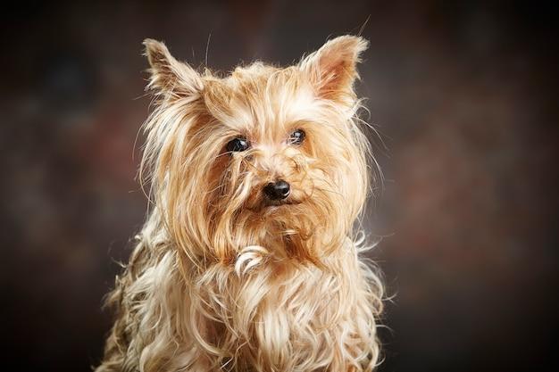 Retrato de um adorável yorkshire terrier