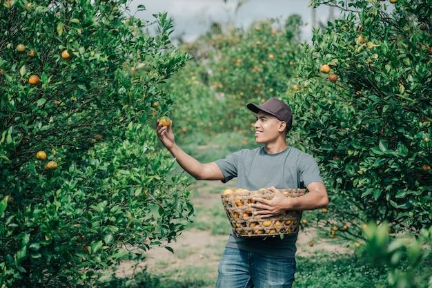 Retrato de um agricultor masculino feliz colhendo frutas de laranja em um campo de laranjeira