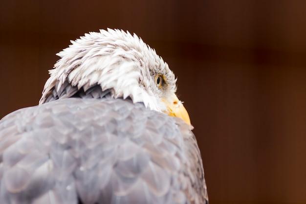 Retrato, de, um, águia calva, (lat., haliaeetus, leucocephalus)