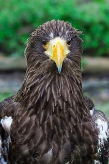 Retrato, de, um, águia, símbolo, a, caça