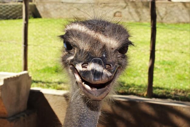 Retrato de um avestruz sorrindo em sua gaiola