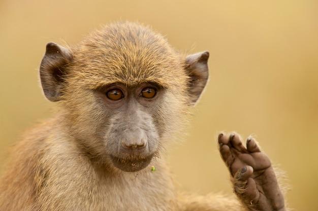 Retrato de um babuíno verde-oliva