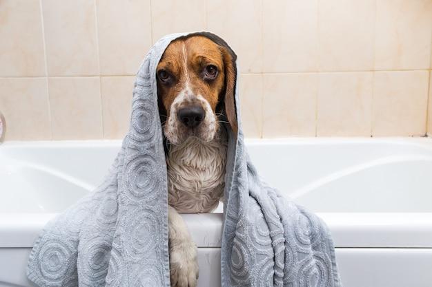 Retrato de um beagle americano fofo com uma toalha na cabeça em um banheiro
