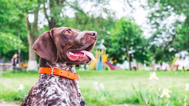 Retrato de um belo cão de raça de ponta alemã de pêlo curto no parque