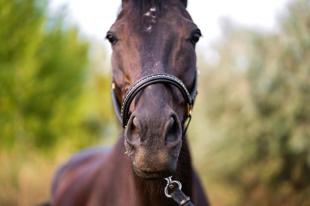 Retrato de um belo cavalo escuro bem preparado no campo