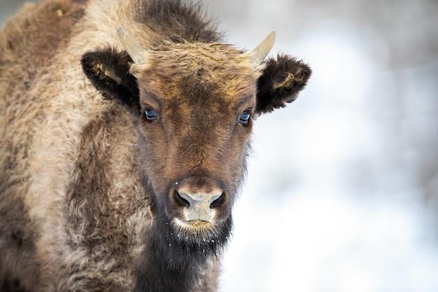 Retrato de um bezerro de bisão de madeira europeu com pequenos chifres