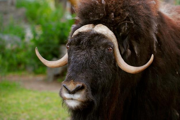 Retrato de um boi almiscarado irritado com grandes chifres