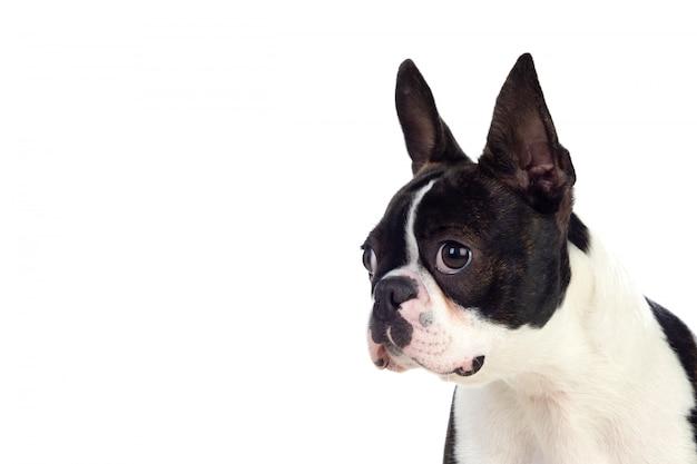 Retrato de um bonito boston terrier