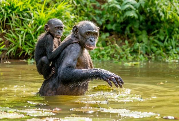 Retrato de um bonobo na natureza