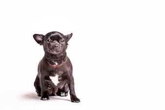Retrato, de, um, boston terrier, cão, branco, fundo
