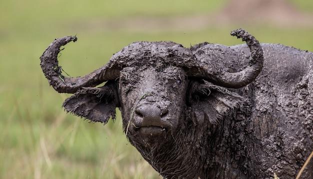 Retrato de um búfalo na savana