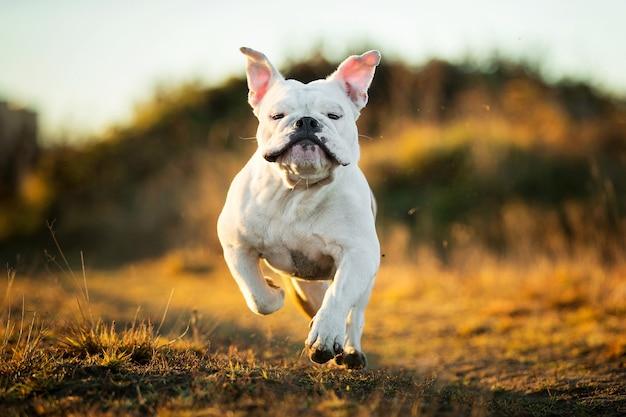 Retrato de um buldogue inglês sério correndo para a frente no campo e olhando para a câmera