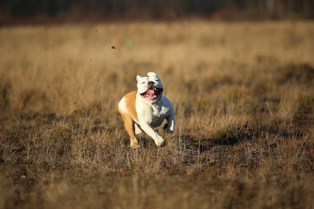 Retrato de um buldogue inglês sorridente e feliz correndo para a frente no campo