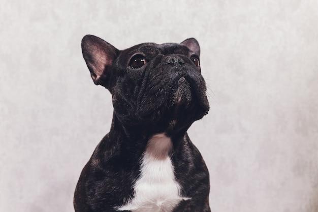 Retrato de um bulldog francês de raça pura na frente