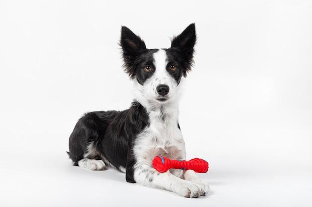 Retrato de um cachorrinho fofo brincando com um osso de brinquedo no fundo branco.