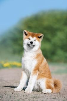 Retrato de um cachorrinho fofo vermelho da raça akita inu. o cachorro fica sentado olhando para a frente em um fundo verde desfocado