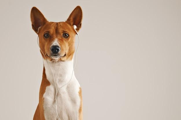 Retrato de um cachorro basenji marrom e branco usando fones de ouvido brancos, olhando para a câmera isolado no branco