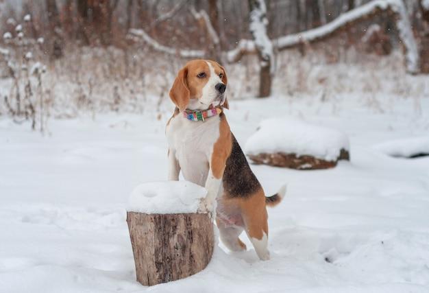 Retrato de um cachorro beagle em uma caminhada no parque de inverno após uma forte nevasca