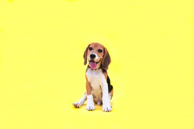 Retrato de um cachorro beagle no fundo amarelo