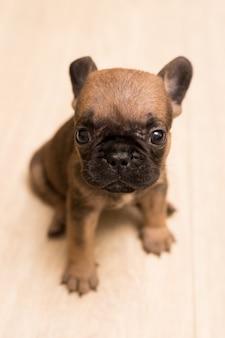 Retrato de um cachorro bulldog francês com um mês de idade. cachorrinho fofo.