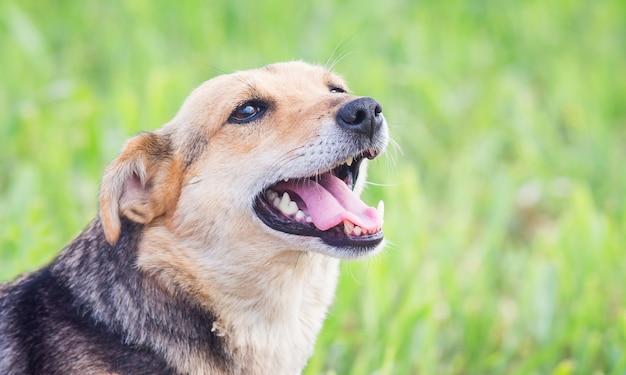 Retrato de um cachorro com a boca aberta em um perfil de close-up_