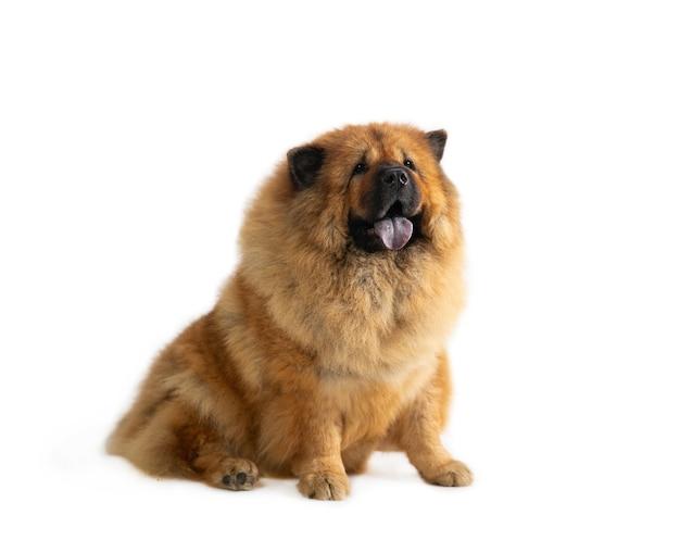 Retrato de um cachorro fofo chow chow sentado no chão com a língua de fora