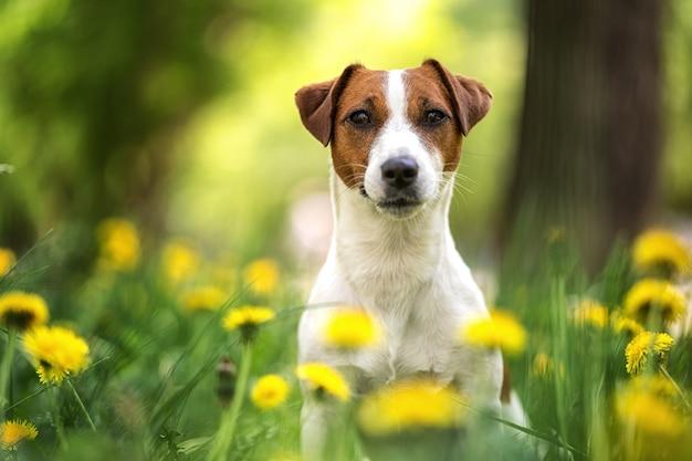 Retrato de um cachorro jack russell terrier sentado no verão na rua no fundo de um canteiro de flores amarelas.