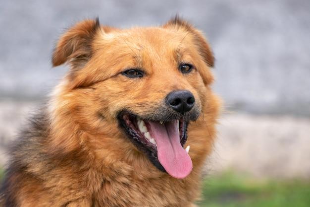 Retrato de um cachorro marrom com a boca aberta