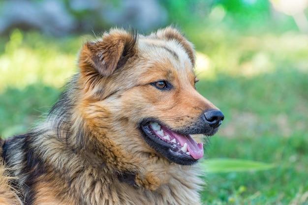Retrato de um cachorro marrom peludo com a boca aberta de perfil