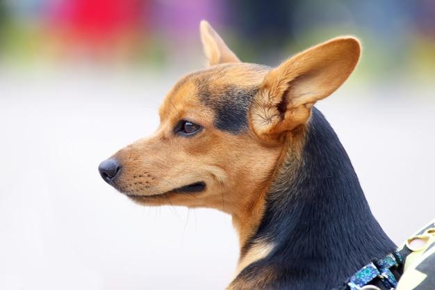 Retrato de um cachorro pequeno em um borrado. animais de estimação