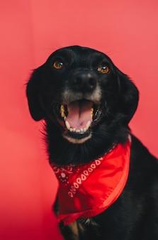 Retrato de um cachorro preto fofo com uma bandana vermelha enrolada no pescoço em uma parede vermelha brilhante