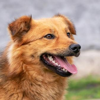 Retrato de um cachorro vermelho com a boca aberta em perfil em fundo desfocado