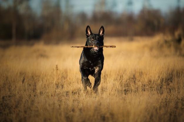 Retrato de um cachorro vira-lata preto grande e fofo com uma vara nos dentes caminhando em um prado de outono