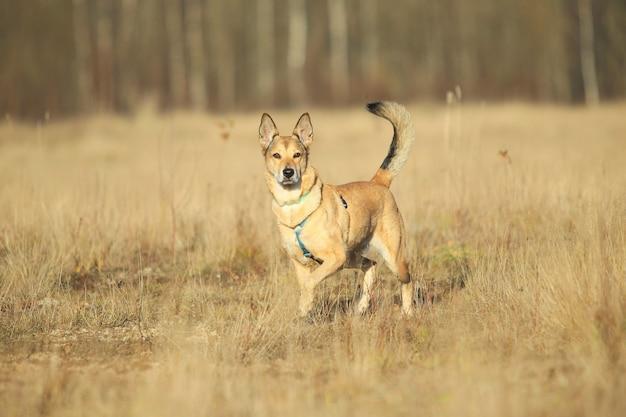 Retrato de um cachorro vira-lata ruivo feliz andando e olhando para a câmera no campo amarelo de outono