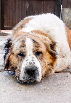 Retrato de um cão adormecido, descansando a cabeça nas patas.