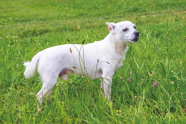 Retrato de um cão branco de corpo inteiro da raça chihuahua_