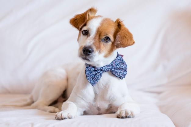 Retrato de um cão branco pequeno bonito jovem vestindo uma gravata borboleta moderna.