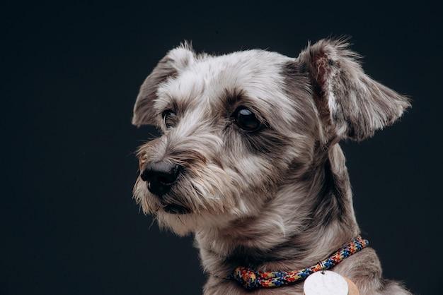 Retrato de um cão cinzento engraçado com olhos multicoloridos
