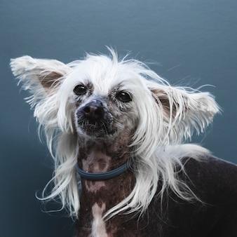 Retrato de um cão com orelhas compridas e penteado