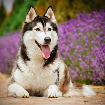 Retrato de um cão da raça husky siberiano.