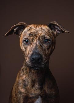 Retrato de um cão de raça misturada em um estúdio interior com parede marrom