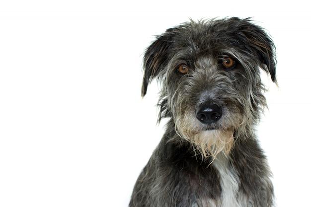 Retrato de um cão de raça misturado preto com expressão séria