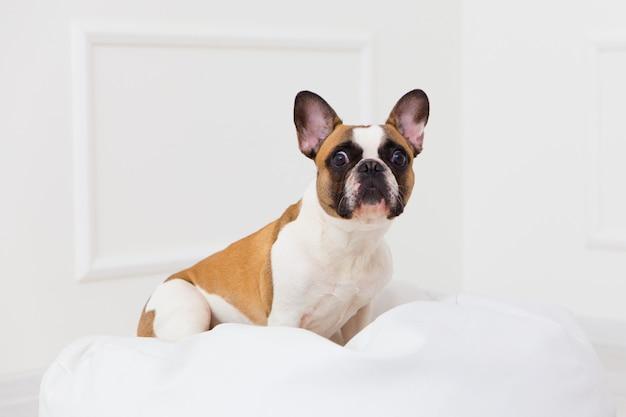 Retrato, de, um, cão, de, um, buldogue francês, casa, em, um, luz, interior, close-up