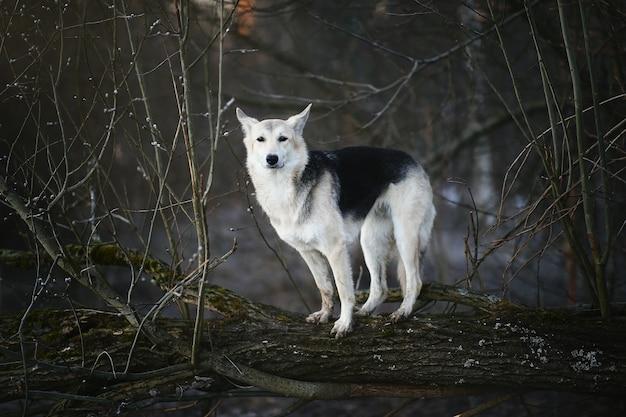 Retrato de um cão fofo de raça misturada pulando por uma árvore no inverno ao amanhecer