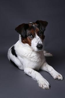 Retrato de um cão fofo de raça misturada, vermelho e branco, em um fundo cinza