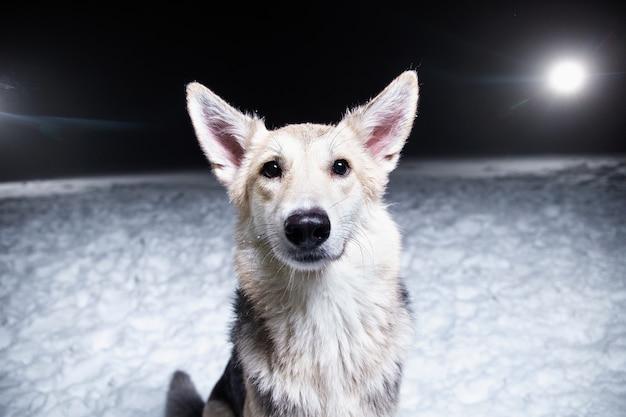 Retrato de um cão husky de raça mista sentado na neve, no contexto de uma noite polar de inverno
