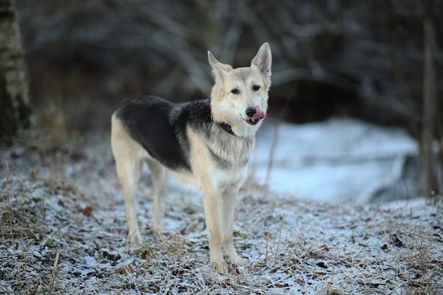 Retrato de um cão husky fofo de raça mista sentado num prado de inverno