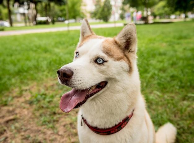 Retrato de um cão husky fofo no parque