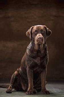 Retrato de um cão labrador preto tomado contra um fundo escuro.