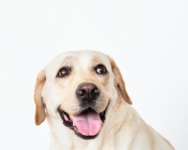Retrato de um cão labrador retriever